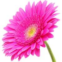 A Single Classic CERISE Pink Gerbera