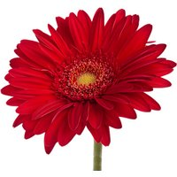 A Single Classic RED Gerbera