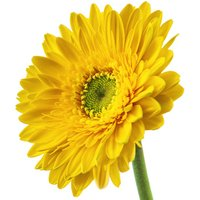 A Single Classic Yellow Gerbera
