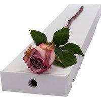 A Single Lilac Rose