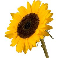 A Single Classic Sunflower