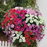 Gardening Direct 12 Petunia Grand Prix (Semi Trailing) Mega