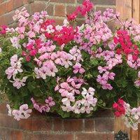 Gardening Direct 70 Geranium Balcony (Trailing) Ready Plants
