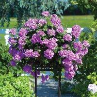 Gardening Direct 24 Geranium Lilac Trailing jumbo Plants