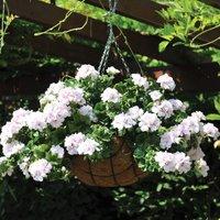 Gardening Direct 24 Geranium White Ivy (Trailing) Jumbo Plan