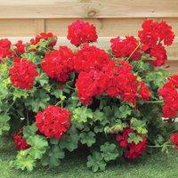 Gardening Direct 12 Geranium Red (Trailing) Jumbo Plants