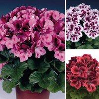 Gardening Direct Geranium Regal Pelargonium Collection 12 Ju