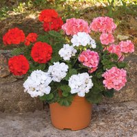 Gardening Direct 12 Zonal Geranium Savannah Collection Jumbo