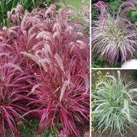 Gardening Direct Pennisetum Collection
