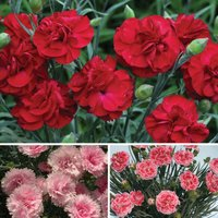Gardening Direct Perfumed Pinks Collection