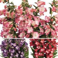 Gardening Direct Penstemon Pep Talk Collection