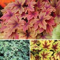 Gardening Direct Heavenly Heucheras Collection