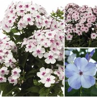 Gardening Direct Phlox Flame Collection