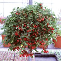 Gardening Direct 12 Tumbling Tom Red F1 Plants