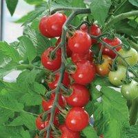 Gardening Direct 12 Tomato Sweet Aperitif Plants