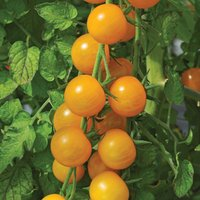 Gardening Direct Tomato Sungold Plants
