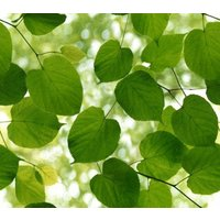 Ella Doran Wallpapers Sunlight Through Leaves, Sunlight