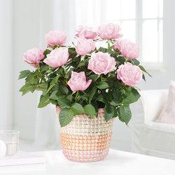 Topfrose in Rosé im Flechtkorb