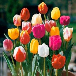 Gärtner Pötschkes Tulpen-Mischung Farbenparade