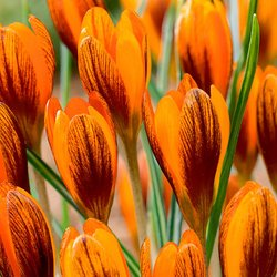 Wildkrokus Orange Monarch
