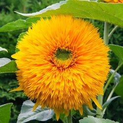 Sonnenblumensamen Double Sunking