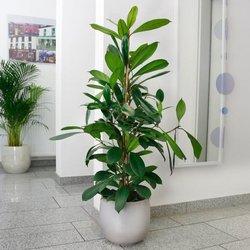 Afrikanischer Feigenbaum