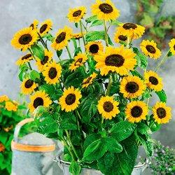 Sonnenblumensamen Sonja