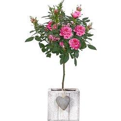 Rosa Rosenstämmchen im Herztopf