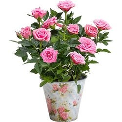 Rosafarbene Rose im Nostalgie-Topf