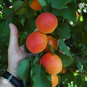 Apricot FlavourCot tree