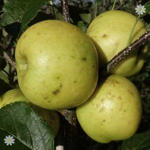 Apple Greensleeves on M26 potted tree