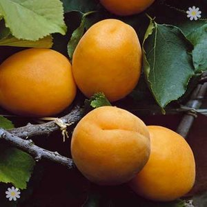 Patio Apricot Aprigold bare root tree