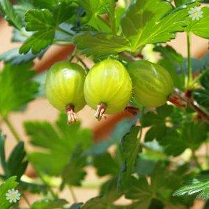 Premium Gooseberry