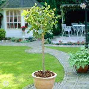 The Chelsea Fig Tree 4L half standard