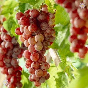 Table Grape Red Globe 5L