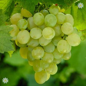 Table Grape Superior Seedless 5L