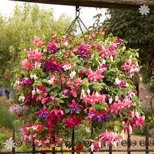 Jumbo Flowered American Fuchsia Collection x 12 Jumbo Plugs
