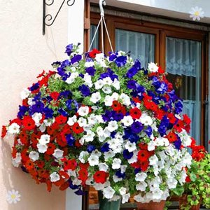 Patriotic Petunia Plant Collection red/white/blue - 18 plugs