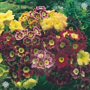 Primula auricula - pack of 12 jumbo plug plants