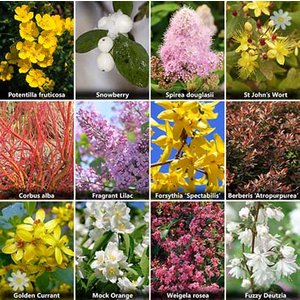 The Ultimate Winter Hardy Shrub Collection x 12 Mature Bushe
