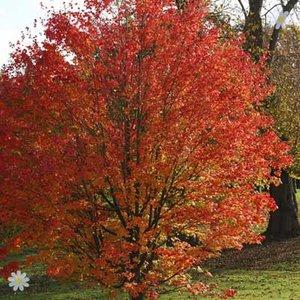 Celebration Maple Tree (Acer freemanii Celebration)
