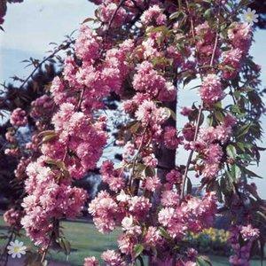 Flowering Cherry Kiku Shidare Zakura tree