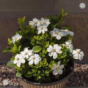 Gardenia Kleim
