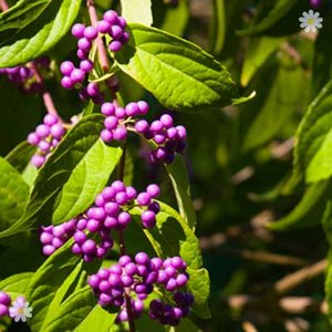 Callicarpa Profusion (Beauty Berry) plants - set of 3 in 9cm ptos