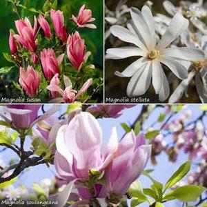 Set of 3 Magnolia trees in 2L pots