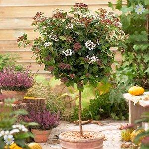 Viburnum tinus 1M standard tree