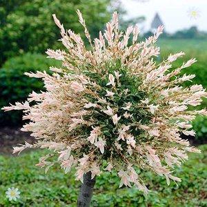 Salix int
