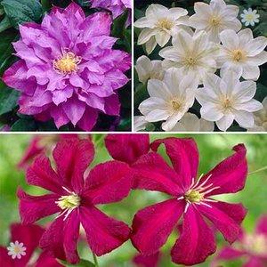 Repeat flowering Clematis Collection - 3 varieties
