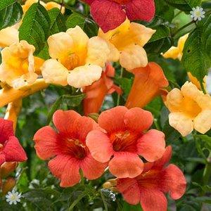 Campsis (Trumpet Vine) collection3 plants