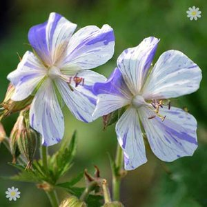 Perennial Hardy Geranium Splish Splash plants - pack of 3 in 9cm pots